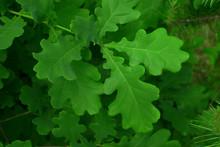 Spring Oak Green Leaves Background