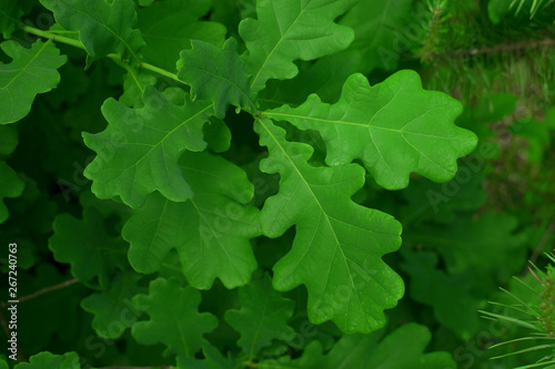Fotografie, Tablou spring oak green leaves background