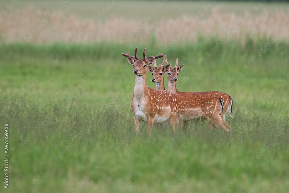 Fototapety, obrazy: Three fallow deer, dama dama, stags in summer with growing antlers covered in velvet. Herd of male wild animals standing on a green fresh looking meadow in nature in spring.