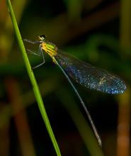 Dragonfly On Branch; Shining Gossamer Wing; Sri Lanka; Damselfly On Branch