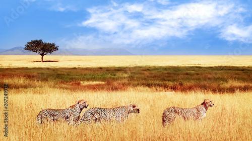 Grupa gepardy w afrykańskiej sawannie. Afryka, Tanzania, Park Narodowy Serengeti. Dzikie życie Afryki.