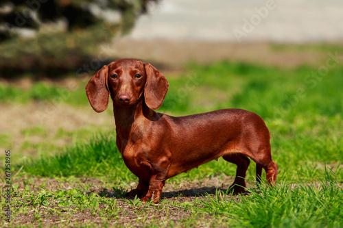 Dog breed dachshund Wallpaper Mural