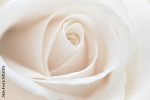Macro of a white rose in the garden
