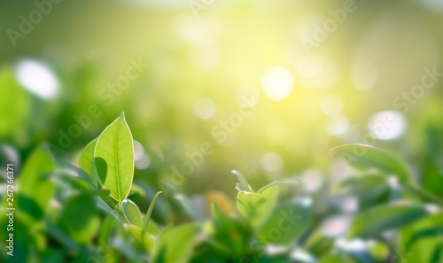 Photo sur Aluminium Jaune de seuffre Natural green background with golden light garden with copy space using as background