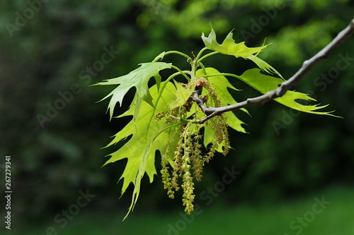 Fotografia, Obraz  Green-yellow spring leaves and fading hanged flowers of Northern Red Oak, latin