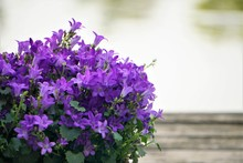 Purple Flowers Of Dalmatian Bellflower Or Adria Bellflower Or Wall Bellflower (Campanula Portenschlagiana)  On Blurred Pond And Wooden Background, Spring In Georgia USA.