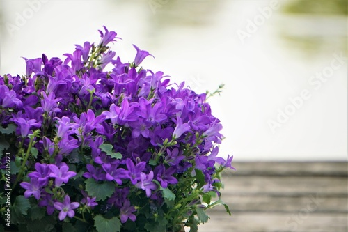 Photo Purple flowers of Dalmatian bellflower or Adria bellflower or Wall bellflower (Campanula portenschlagiana)  on blurred pond and wooden background, Spring in Georgia USA