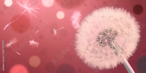 Fototapeta  Dandelion releasing seeds. Abstract work. Panoramic.