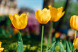 Background of spring with beautiful yellow tulips in the field.