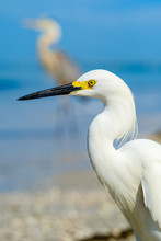 Beach Snowy Egret