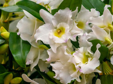 White Flowers Of Dendrobium Nobile, A Member Of The Family Orchidaceae. Close Up