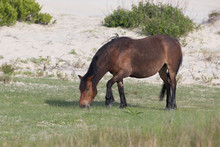 Wild Horses On The Northern End Of The Outer Banks At Corolla North Carolina