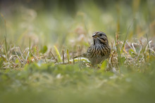 Sparrows Foraging In Grass In ...