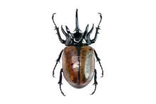 Unicorn Beetle (Eupatorus Grac...