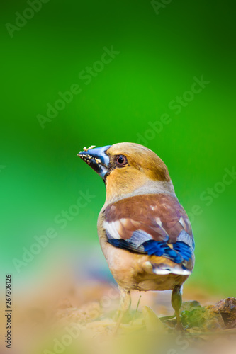 Fotografie, Obraz Cute little bird Hawfinch