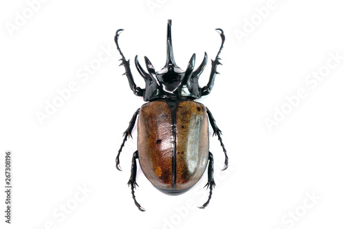 Unicorn beetle (Eupatorus graciliconis) also known as the Five-horned rhinoceros beetle, or Hercules beetles Wallpaper Mural