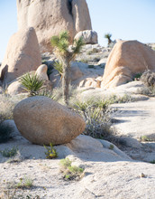 Small Gneiss Rock In Front Of A Lone Joshua Tree
