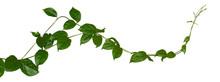 Plant Tropical Foliage Vine, I...