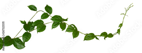 Plant tropical foliage vine, Ivy green hang isolated on white background, clippi Canvas