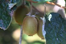 Kiwi Fruit Growing On Vine