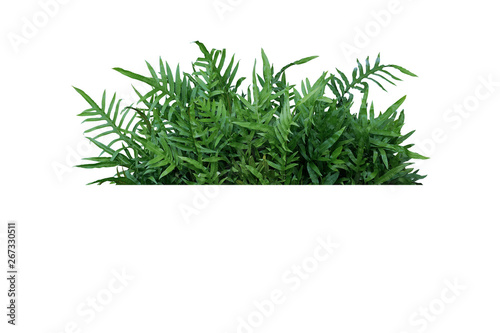 Green leaves Hawaiian Laua'e fern or Wart fern tropical foliage plant bush nature backdrop isolated on white background, clipping path included Canvas Print