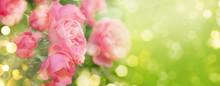 Pink Roses On Natural Green Background, Summer Landscape, Banner Format