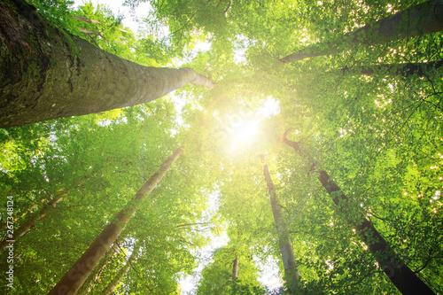 Obraz Impressive trees in the forest. Fresh green, spring time. Bottom view. - fototapety do salonu
