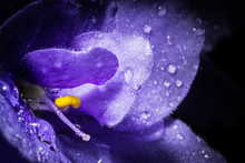 Violet Flower With Water Rain Drops Macro Closeup. Creative Photo Of Violet Flower With Vignette. Texture Of Violet Flower.