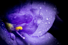 Violet Flower With Rain Drops ...