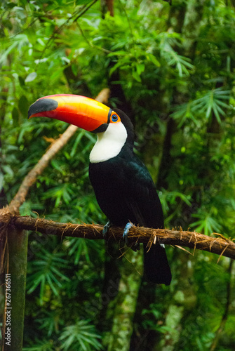 Deurstickers Toekan Toucan in rain forest with tree and foliage, early in the morning after rain. Iguazu bird Park. Brazil