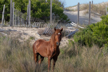 Wild Horses On The Northern End Of The Outer Banks In The Sand Dunes At Corolla North Carolina