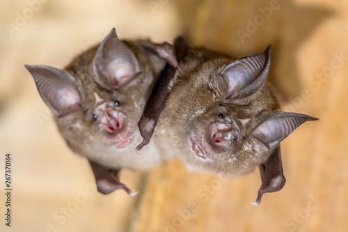Two Greater horseshoe bat Fototapete