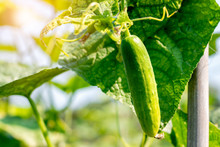 Cucumber Harvest In A Small Domestic Greenhouse. The Cucumber Fruits Grow And Are Ready For Harvesting. Variety Of Cucumbers, Climbing Vegetables, Suitable For Growing In The Outdoor Planting.