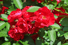 Red Roses On The Bush In The Spring Garden