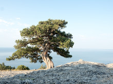 Old Juniper On The Crimean Hill