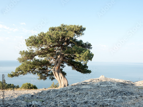 Foto op Plexiglas Olijfboom Old juniper on the crimean hill