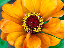 Yellow Zinnia Flower
