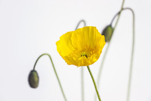 Yellow Poppy Flower With White Background