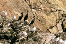 Three Pelagic Cormorants Sitting Perched On A Rock In Resurrection Bay, Alaska