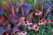 Flower Border With Echinacea Purpurea And Canna