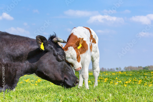 Cow and newborn calf hug each other in meadow Fototapeta