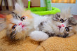 cute persian cat baby kitten