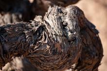 Close-up Of Vine Trunk. Strain Of Old Vineyard.