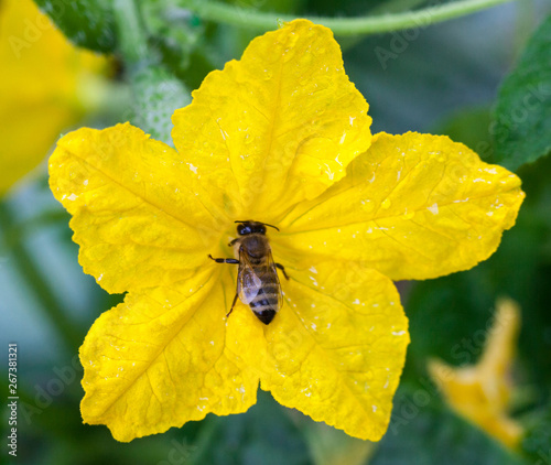 Fotografie, Obraz Bee pollinating the cucumber flower