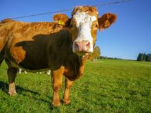 牧場の牛がこちらを見...