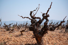 Old Vineyard With The Pruned V...