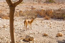 Goat In Ein Gedi National Park In Israel