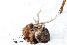 Sika Deers Walking In The Snow On A White Background