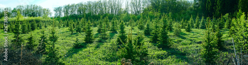 Foto  panoramic view of the young spruce forest