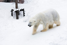 A Polar Bear Walking In The Snow On A White Background